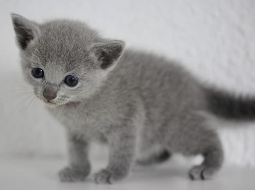 gato azul ruso barcelona russian blue - frida 03