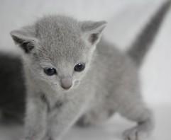 gato azul ruso barcelona russian blue - Illargi 03