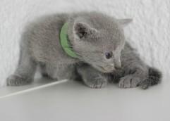 gato azul ruso barcelona russian blue - Ninu