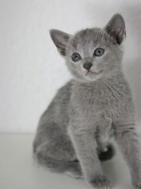 z-gato azul ruso barcelona russian blue kitten - Chibu 02
