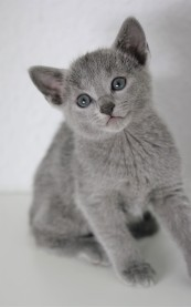 z-gato azul ruso barcelona russian blue kitten - Chibu 04