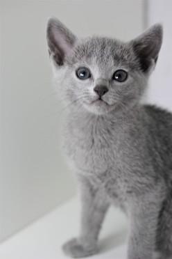 z-gato azul ruso barcelona russian blue kitten - Maya 02