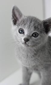 z-gato azul ruso barcelona russian blue kitten - Maya 03