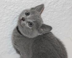 gato azul ruso barcelona russian blue - Butters 01