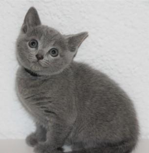 gato azul ruso barcelona russian blue - Butters 02