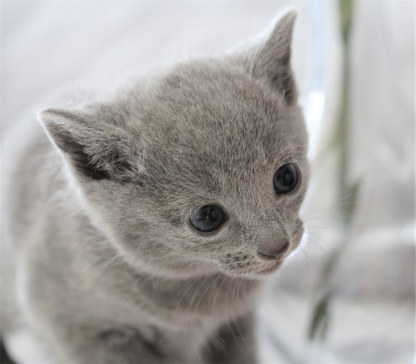 gato azul ruso barcelona russian blue kitten - Butters 01