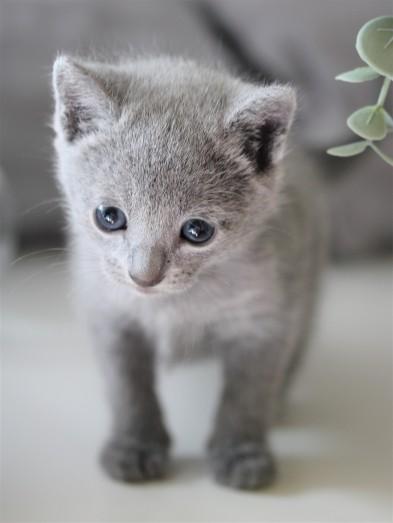 gato azul ruso barcelona russian blue kitten - Butters 02