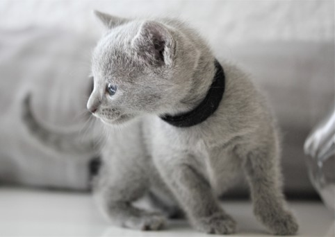 gato azul ruso barcelona russian blue kitten - Butters 03