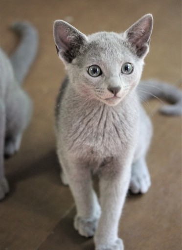 gato azul ruso barcelona russian blue kitten - Chibu