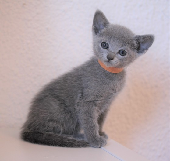 gato azul ruso barcelona russian blue kitten - Frida 03