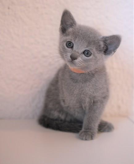 gato azul ruso barcelona russian blue kitten - Frida 04