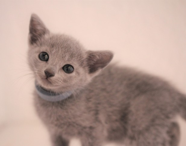 gato azul ruso barcelona russian blue kitten - Ilargi 01