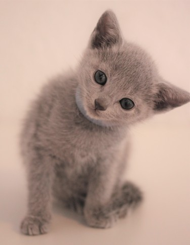 gato azul ruso barcelona russian blue kitten - Ilargi 03