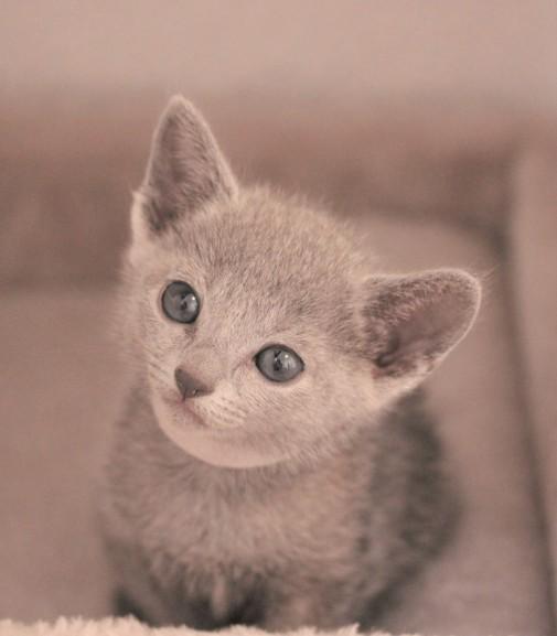 gato azul ruso barcelona russian blue kitten - Nerea 01