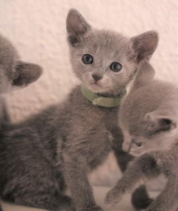 gato azul ruso barcelona russian blue kitten - Ninu 03
