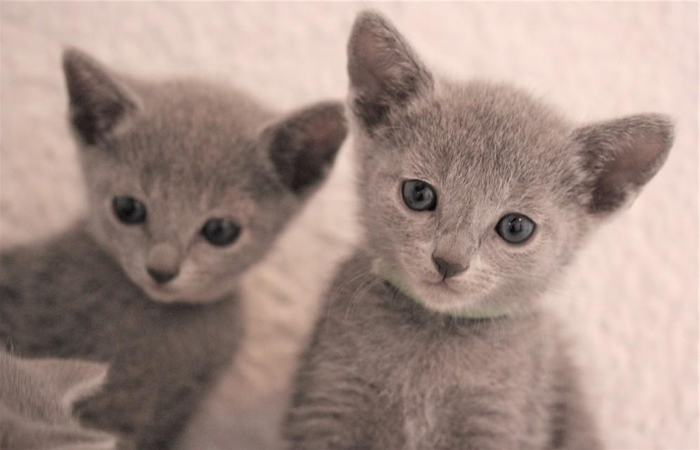 gato azul ruso barcelona russian blue kitten - Ninu 04