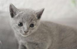 gato azul ruso barcelona russian blue kitten - Odin 02