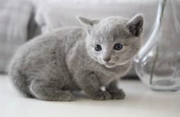 gato azul ruso barcelona russian blue kitten - Olivia 02