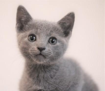 gato azul ruso barcelona russian blue - Odin 01