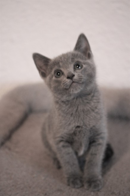 gato azul ruso barcelona russian blue - Odin 03