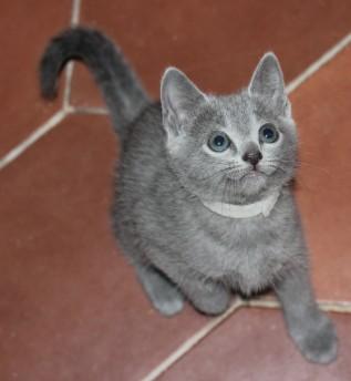 gato azul ruso barcelona russian blue - Olivia 01