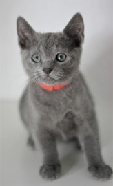 gato azul ruso barcelona russinan blue kitten - Linda 02