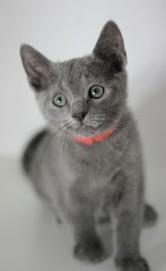 gato azul ruso barcelona russinan blue kitten - Linda 03