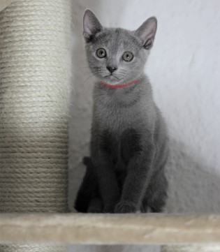 gato azul ruso barcelona russinan blue kitten - Lovita 05