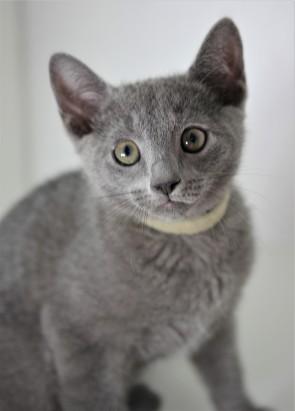gato azul ruso barcelona russinan blue kitten - Luna 01