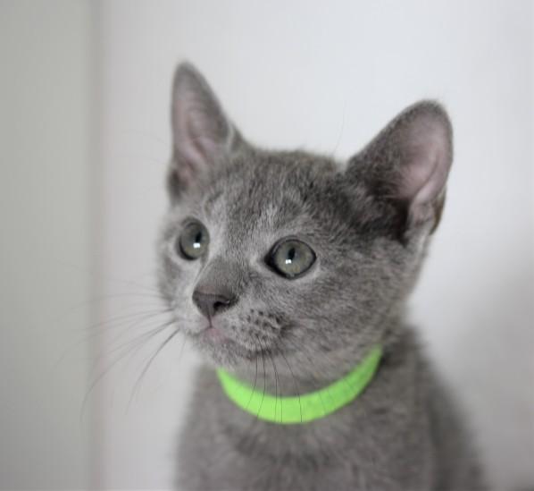 gato azul ruso barcelona russinan blue kitten - Pipo 01