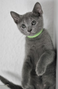 gato azul ruso barcelona russinan blue kitten - Pipo 02
