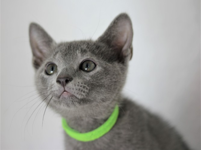 gato azul ruso barcelona russinan blue kitten - Pipo 03