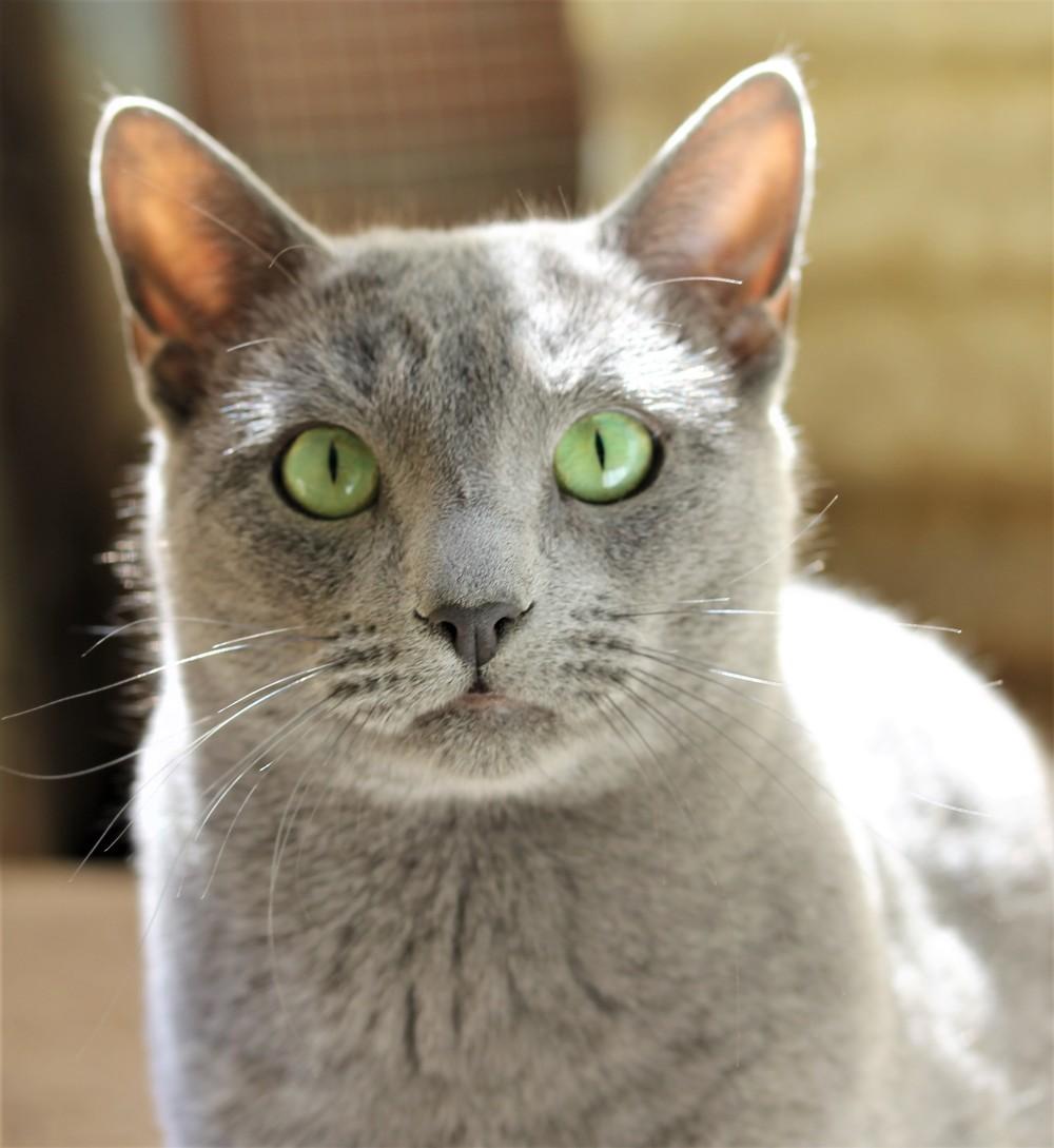 comprar gato azul ruso barcelona russian blue cat - Grimoire 01