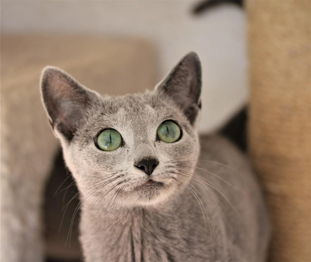 comprar gato azul ruso barcelona russian blue cat - Isabella 02