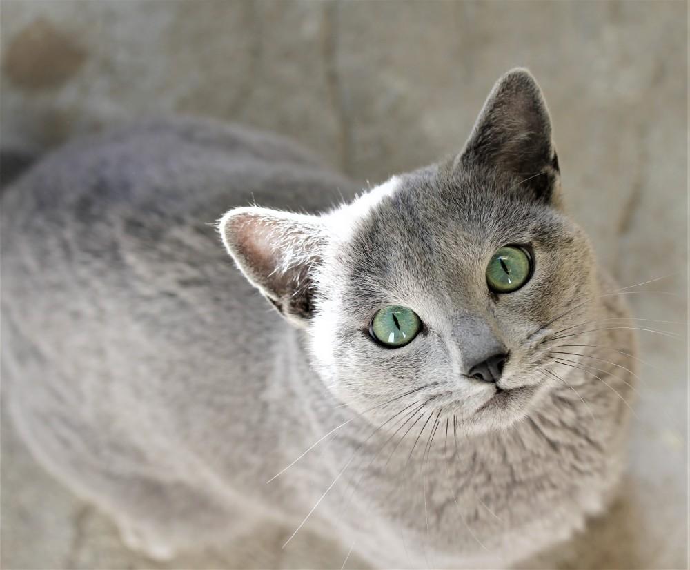 comprar gato azul ruso barcelona russian blue cat - Nevsky 03