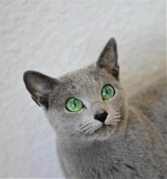 comprar gato azul ruso barcelona russian blue cat - Vicky 01