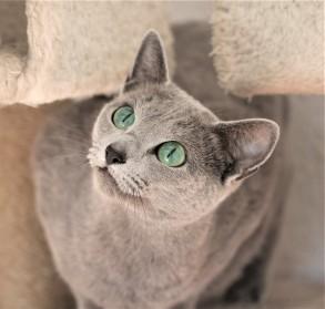 comprar gato azul ruso barcelona russian blue cat - Vicky 02