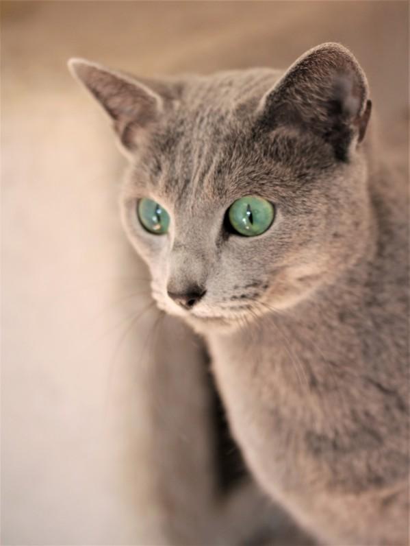 comprar gato azul ruso barcelona russian blue cat - Vicky 03